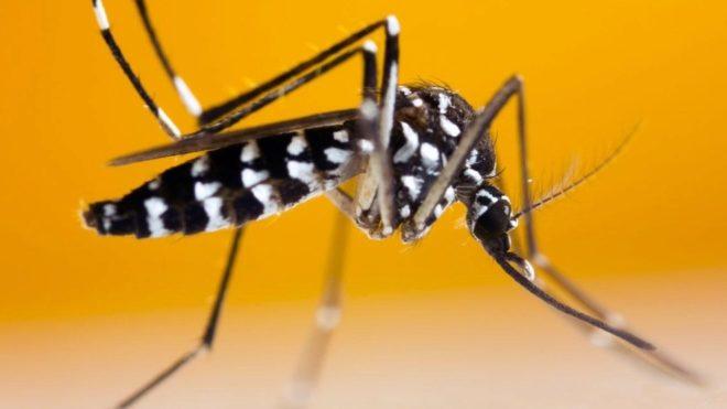 Mosquito Tigre ¿cómo es y por qué preocupa su aparición en Europa?